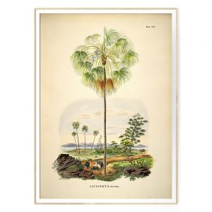 THE-DYBDAHL-PALM-PRINT-IN-LIJST-BOTANICAL-PRENT-3505-LIVISTONA-INERMIS